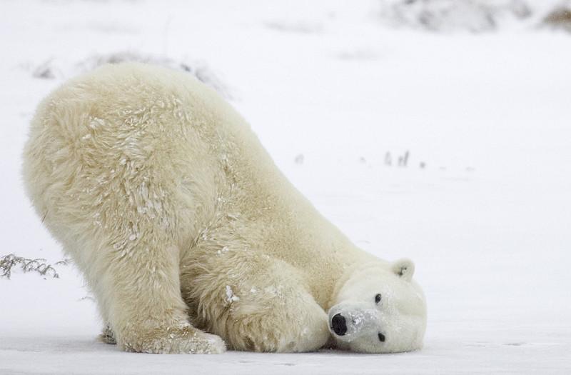 ursi-polari-04