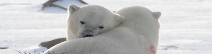 ursi-polari-03
